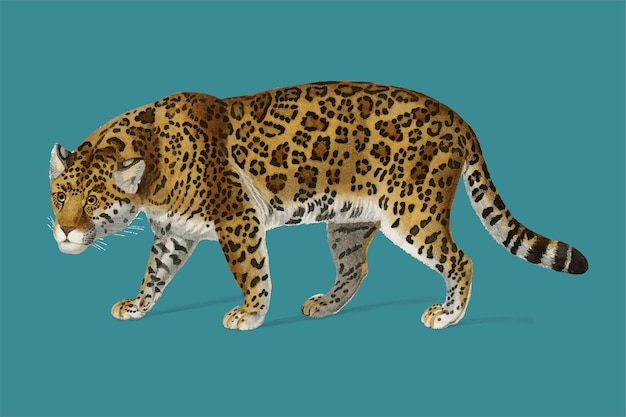 Jaguar (panthera onca) illustrated