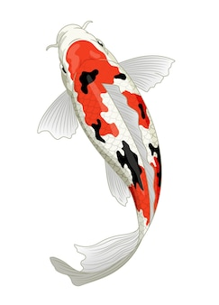 Japan koi fish in sanke coloration