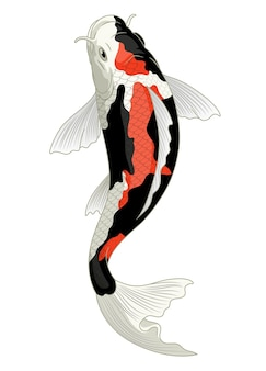 Japan koi fish in showa coloration pattern