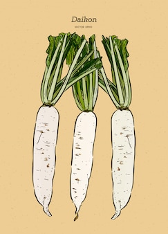 Japanese radish daikon illustration