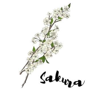 Japanese sakuracherry blossom cherry twig