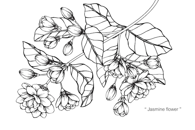 ジャスミンの花の描画のイラスト