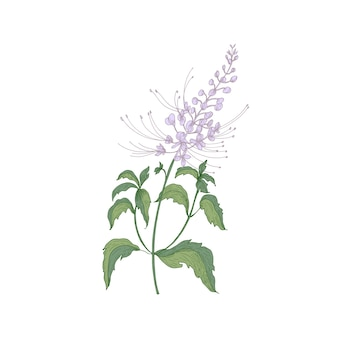 Ява чай нежные цветы или соцветия, стебли и листья, изолированные на белом