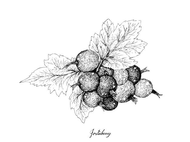 果実、白で隔離されるjostaberriesのイラスト手描きスケッチ