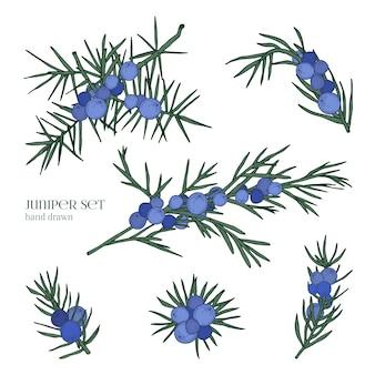Набор можжевельника. подробные рисованной ветви с ягодами. красочные рисованной иллюстрации.