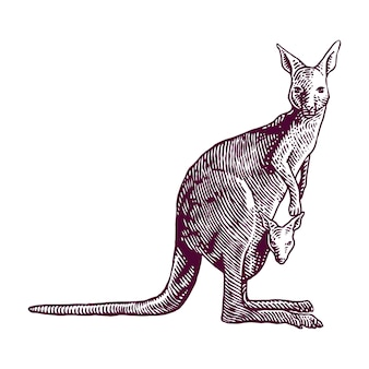 Кенгуру, несущий ребенка гравюра иллюстрации