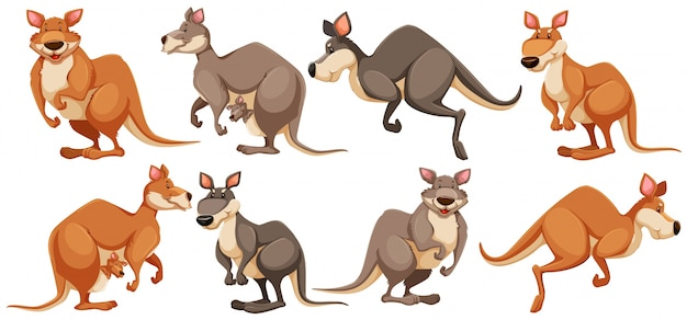 Kangaroo in different poses
