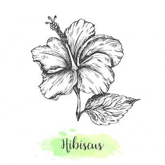 手描きのハイビスカスの花。熱帯の花のビンテージスタイルのスケッチのベクトル図ビスサップハーブティーkarkadeのアウトラインデザイン