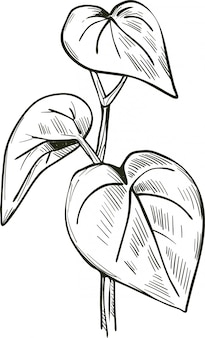 Kava isolated vector illustration. kava-kava pepper crop bitter leaves. kawa or ava, yaqona sakau, seka and malok or malogu