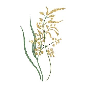켄터키 블루그래스 꽃 흰색 배경에 고립입니다. 잔디를 만드는 데 사용되는 야생 다년생 꽃 목초지 또는 야생화의 자연 그림. 다채로운 꽃 손으로 그린 벡터 일러스트 레이 션.