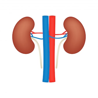 Kidney vector flat icon