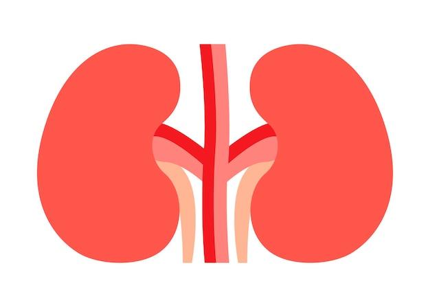 신장은 요관과 쌍을 이루는 기관입니다. 신장 건강, 비뇨기과 및 신장학. 벡터 일러스트 레이 션