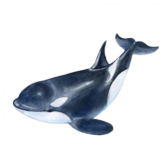 Killer whale in watercolor