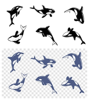 Killer whale. whale in water. vector set iilustrations