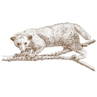 Kinkajou гравюра рисунок животных иллюстрации