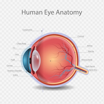 Knowledge of human eye anatomy illustration