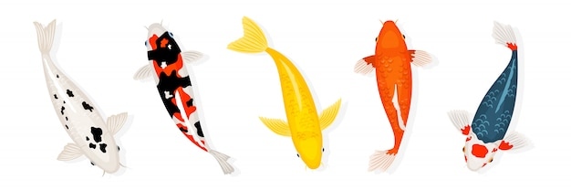 Koi carp fishes  illustration. japanese koi fish  on white background