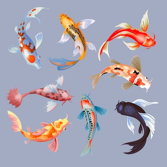 Koi fish  illustration japanese carp and colorful oriental koi in asia set of chinese goldfish and traditional fishery isolated background.