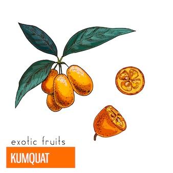 Kumquat . color vector illustration.