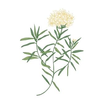 白で隔離されるラブラドル茶または野生のローズマリーの花