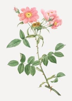 Lady monson rose in bloom
