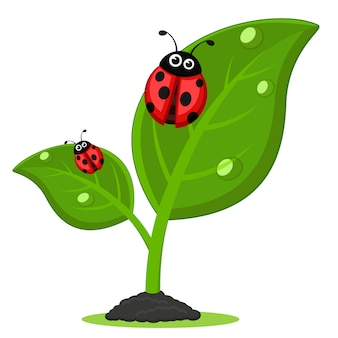 Ladybugs on green leaves of the plant, on a white background.
