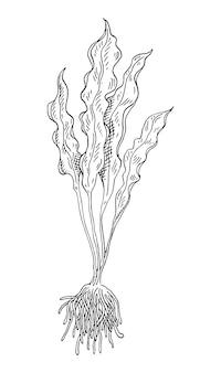 Морские водоросли ламинарии винтаж вектор штриховки монохромный черный иллюстрации, изолированные на белом фоне