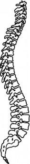 Large spine vector clip art