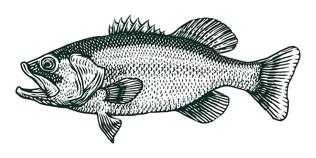 Largemouth bass fish vector engraving illustration