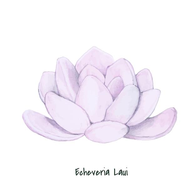 Рисованная эхеверия laui succulent