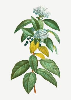 Laurustinusが咲いています
