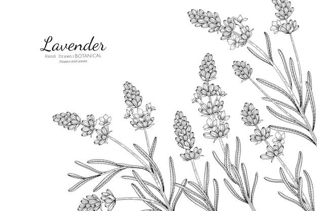라벤더 꽃과 잎 손으로 그린 식물 삽화가 라인 아트로 그려져 있습니다.