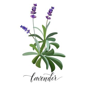 평면 스타일에 라벤더 꽃입니다. 손으로 쓴 텍스트. 벡터
