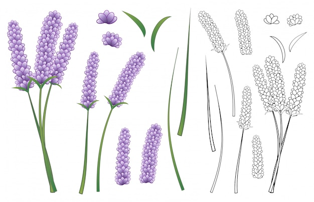 Lavender flower and outline isolated on white background.
