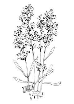 ラベンダーの花の手描き。