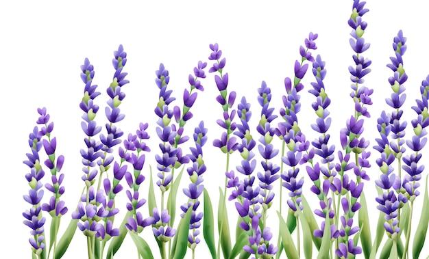 Цветы лаванды на белом фоне
