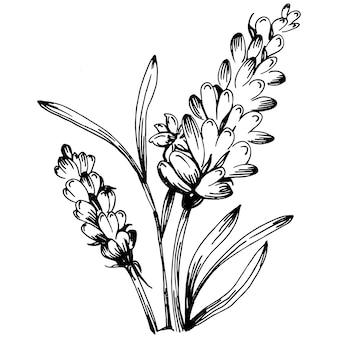 라벤더 격리 스케치 그림입니다. 결혼식 허브, 식물 또는 초대장을 위한 우아한 잎이 있는 모노그램을 위한 손으로 그린 요소는 날짜 카드 디자인을 저장합니다. 식물의 소박한 트렌디한 녹지.
