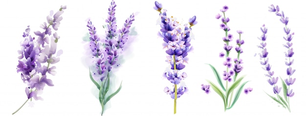 Lavender set watercolor. beautiful floral bouquets isolated