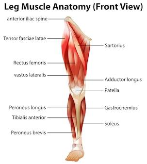 脚の筋肉の解剖学(正面図)
