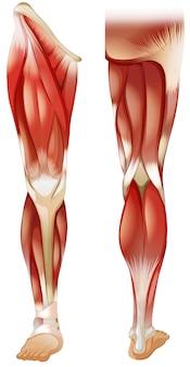 Нога мышц