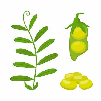 Legume plant, soybeans, green lentil bean
