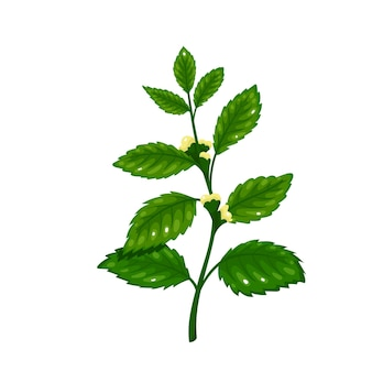 Лимонный бальзам. ароматный ингредиент приправы. пряные травы. отдельные векторные иллюстрации в мультяшном стиле.
