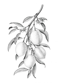 Lemon branch illustration black and white vintage isolate on white background