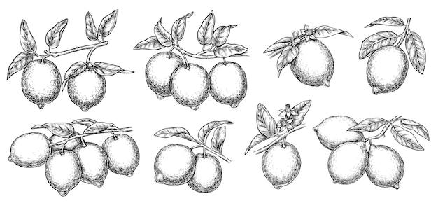 Лимон лимонная ветка дерева наброски чернила графический эскиз