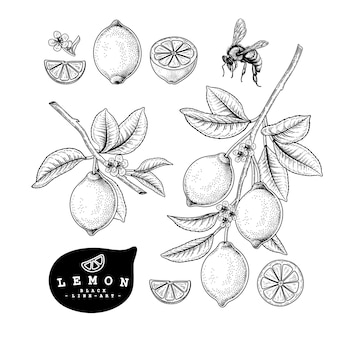 Lemon hand drawn botanical illustrations.