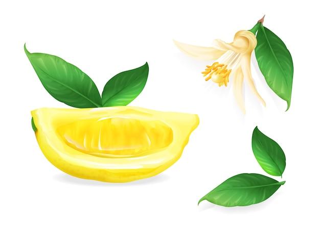 柑橘類の果物植物の花と葉のレモンのイラスト。