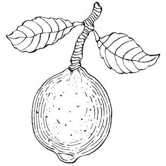 Лимон изолирован. эскиз гравированного стиля органического эфирного масла. красота и спа, косметический ингредиент.