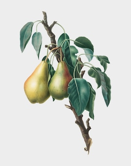 Lemon pear from pomona italiana illustration