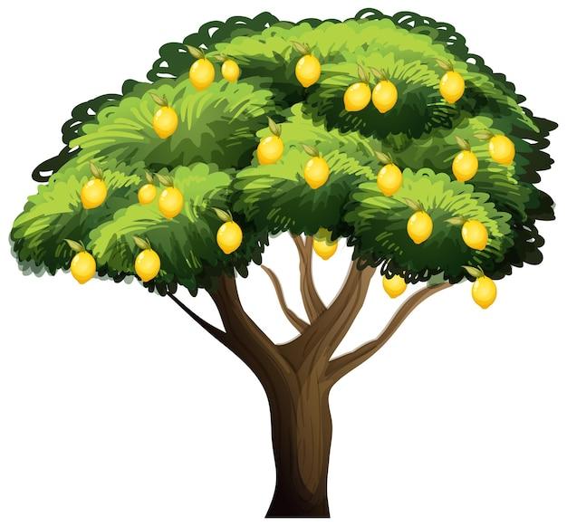 Albero di limone isolato su bianco