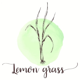 Lemongrass sketch hand drawn illustration of lemon grass tea
